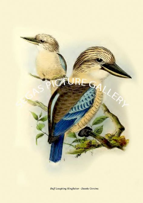 Fine art print of the Buff Laughing Kingfisher - Dacelo Cervina by  the artist Johannes Gerardus Keulemans (1868-1871)